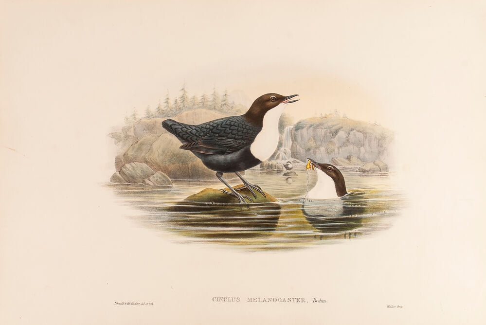Black-bellied Water Ouzel. (Cinclus Melanogaster