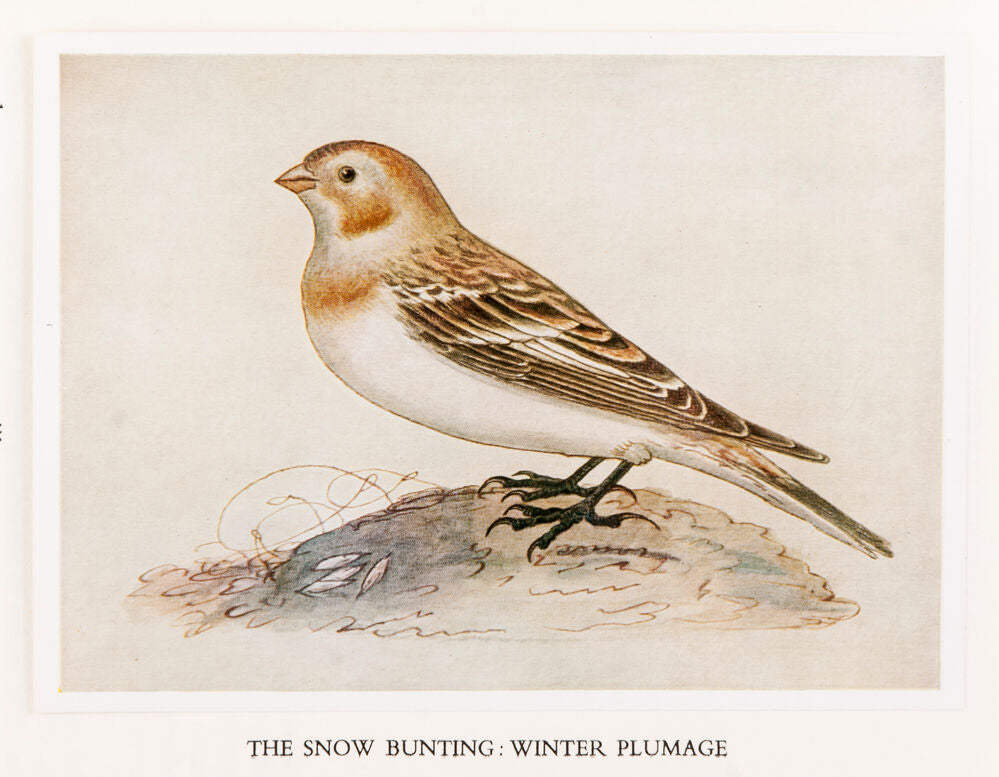 The Water Colour Drawings Of Thomas Bewick