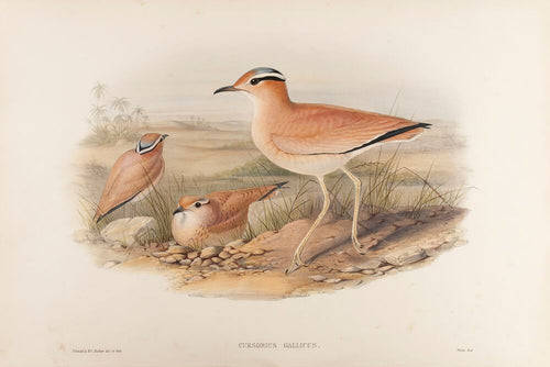 Cream-coloured Courser. (Cursorius Gallicus
