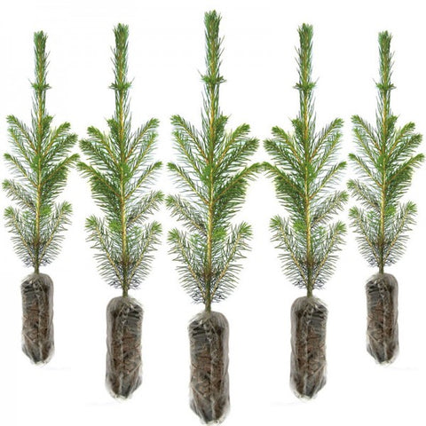Little Christmas Trees - Norway Spruce