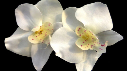 Pair of White Tropical Orchid Flower Clips