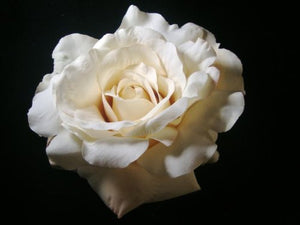Large Ivory Rose Hair Flower Clip