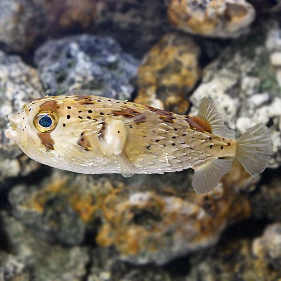 An example of a real porcupine puffer fish that the necklace was modeled after.