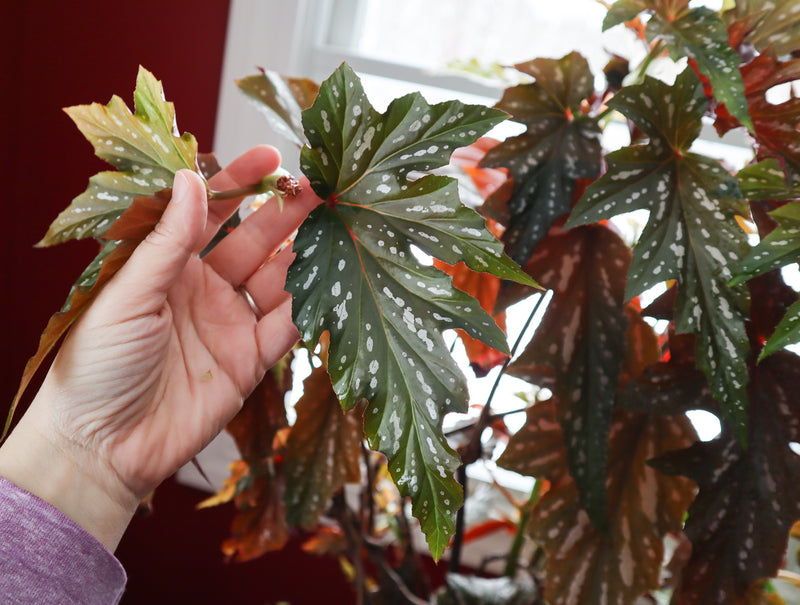 A real angel wing begonia plant with bright red leaves and spotted silvery white.