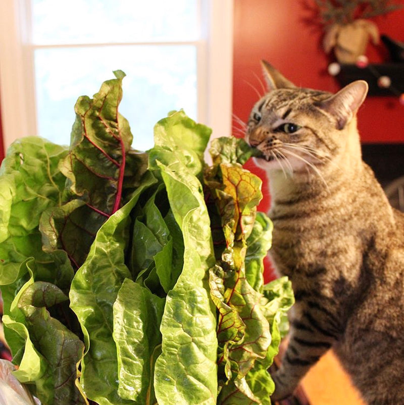 Max the striped cat trying to eat some swiss chard. And not liking it at all.