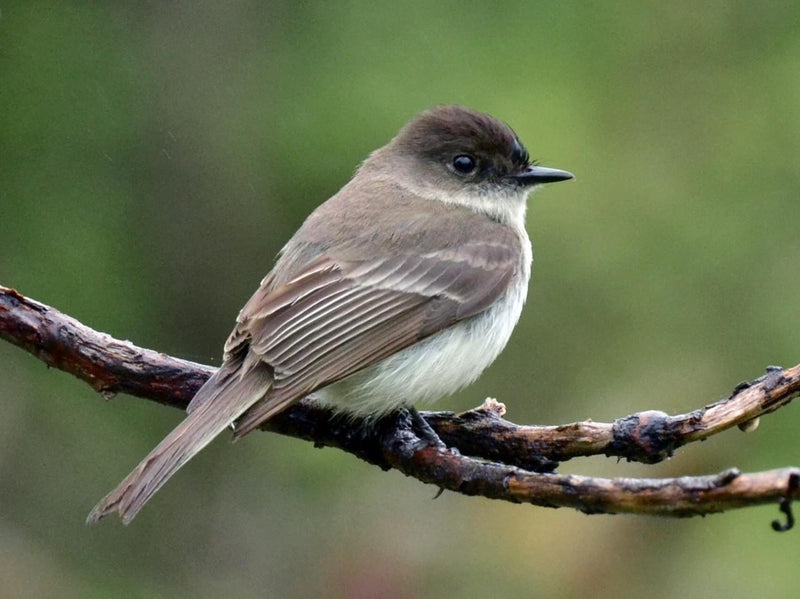 An eastern phoebe sitting on a tree branch.