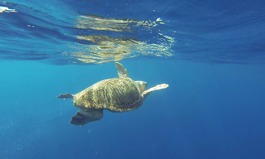 Seyahan Saves Sea Turtles!