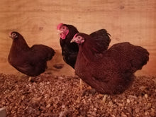 Load image into Gallery viewer, Partridge Wyandotte bantam unsexed day-old chicks