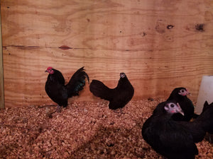 Assorted Old Englilsh Game bantam chicks - unsexed, day-old