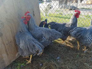 Barred Plymouth Rock hatching eggs 1 dozen postpaid