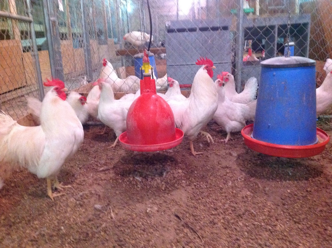 Single Comb White Leghorn - unsexed day-old chicks