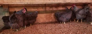 Barred Plymouth Rock - unsexed day-old chicks