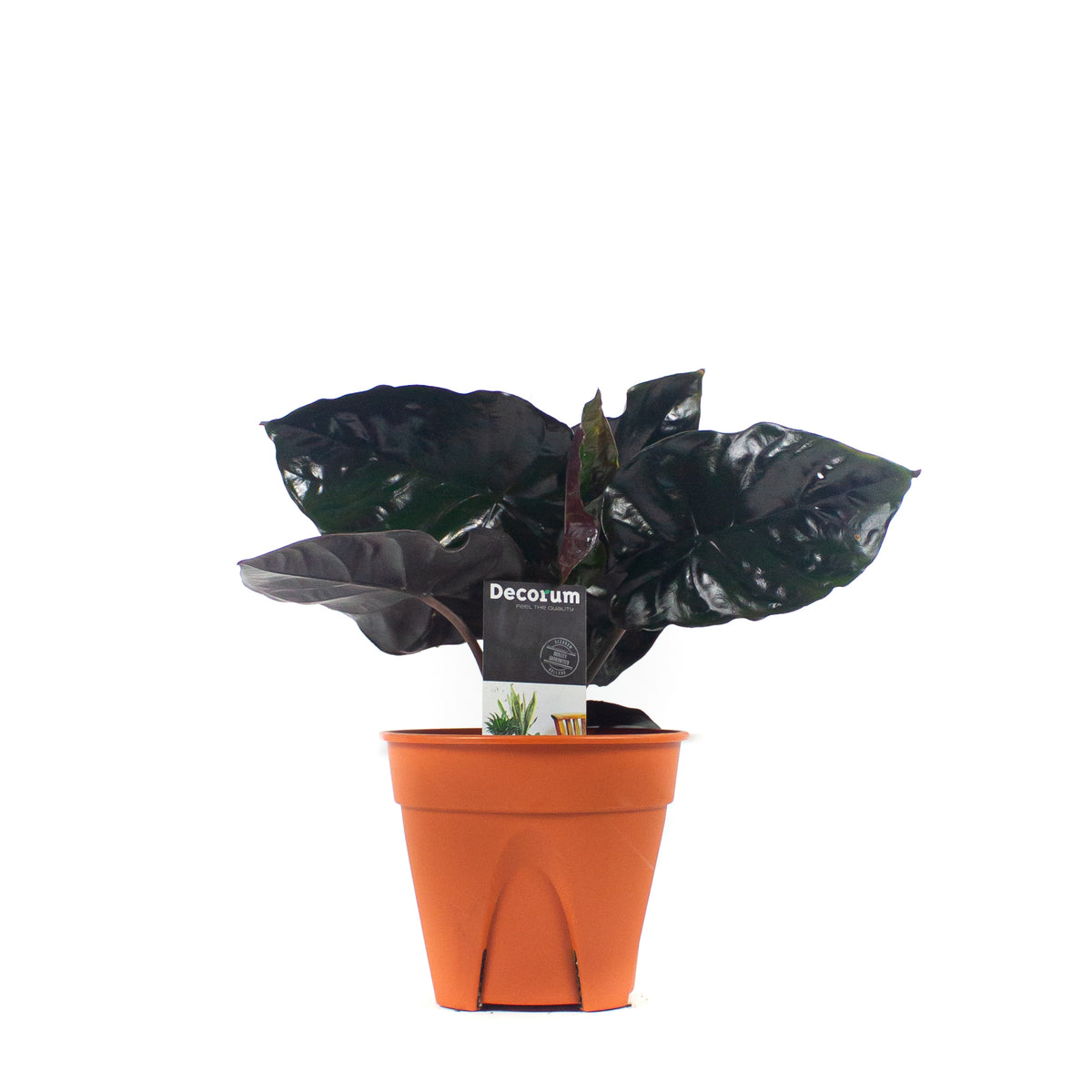 Alocasia infernalis 'Black Magic'