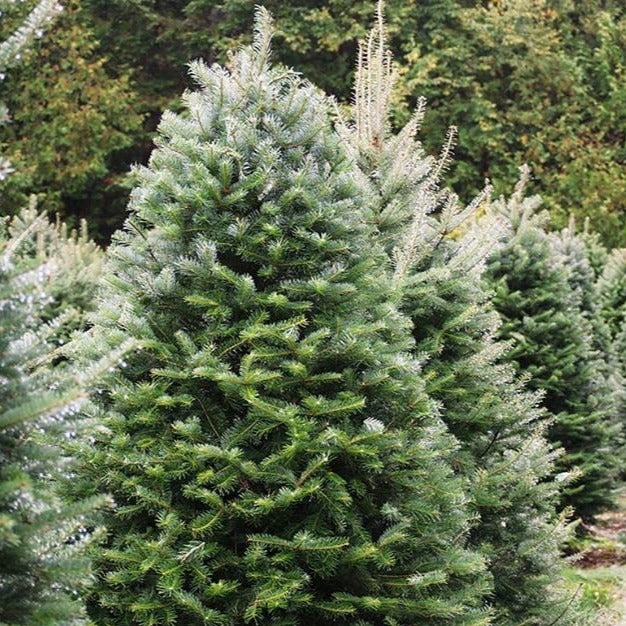 Fraser Fir Christmas Tree 5-6FT
