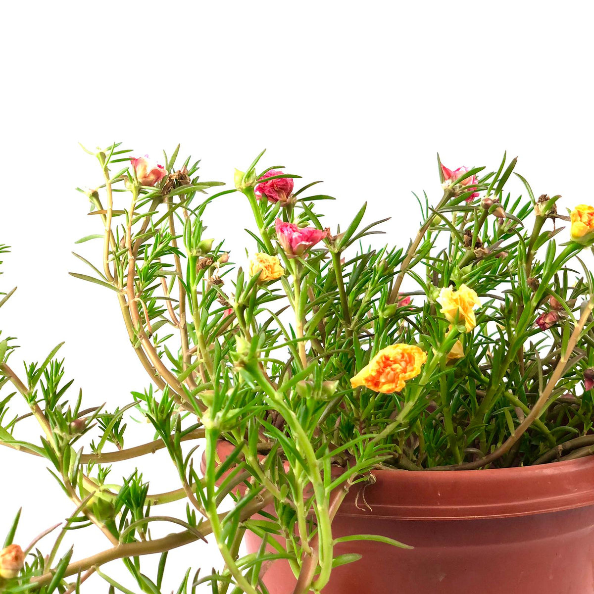 Portulaca mix Japanese Rose