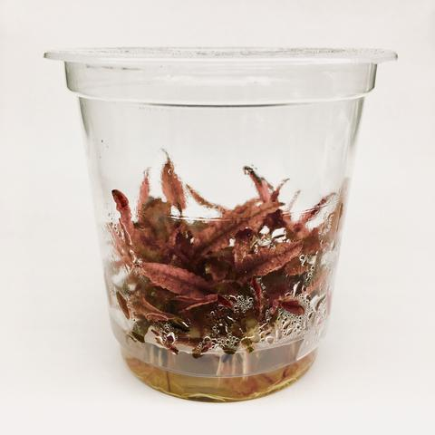 "CRYPTOCORYNE WENDTII ""PINK PANTHER"" - ADA Tissue Culture"