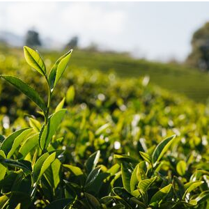 Major Types of Tea - An Overview