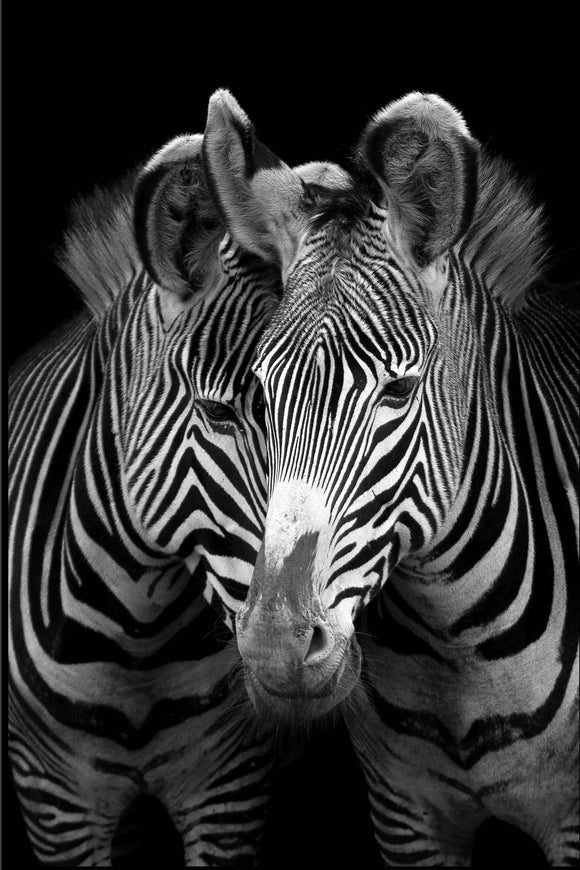 Two Zebras Glass Wall Art