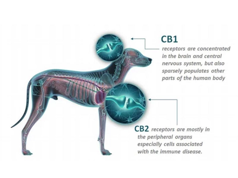 Your Pet's Endocannabinoid System