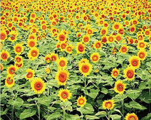 Load image into Gallery viewer, Radiant Sunflower Field Paint by Numbers