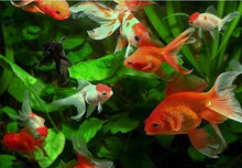 Load image into Gallery viewer, Gold Fish in the Water Painting by Number Set