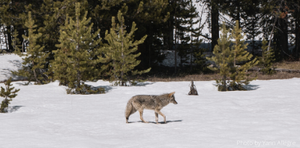 The Coyote and the Effluent (Percolation and Your Septic)