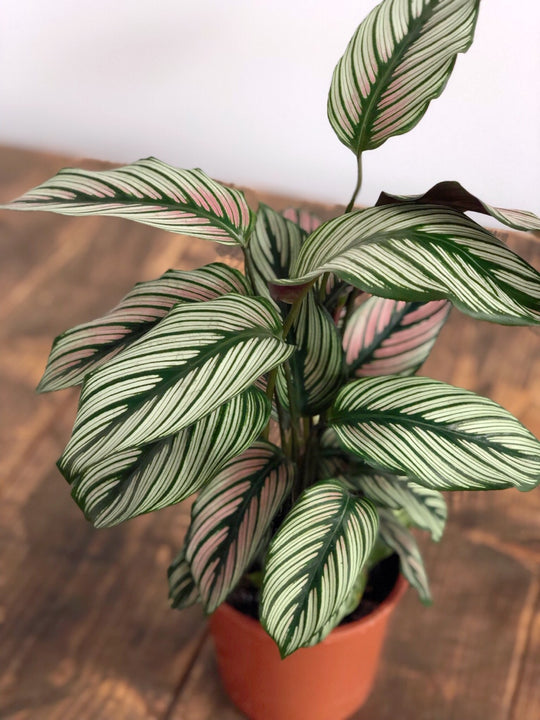 How to care for: Calathea