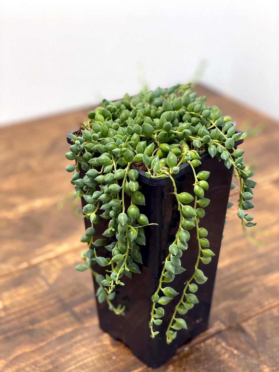 Senecio Herreianus String of Teardrops