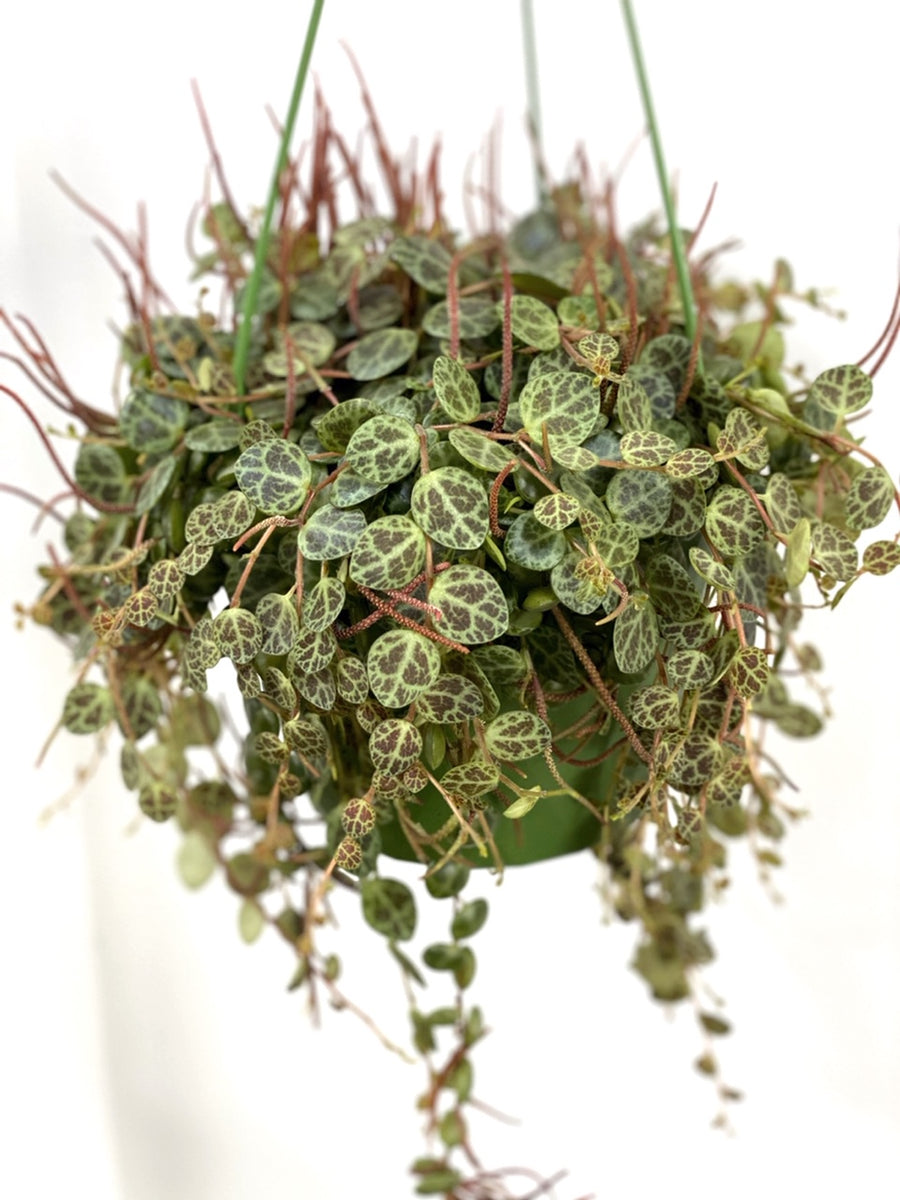 Peperomia Prostrata String of Turtles in Hanging Pot