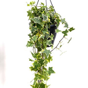 Trailing Ivy in Hanging Pot