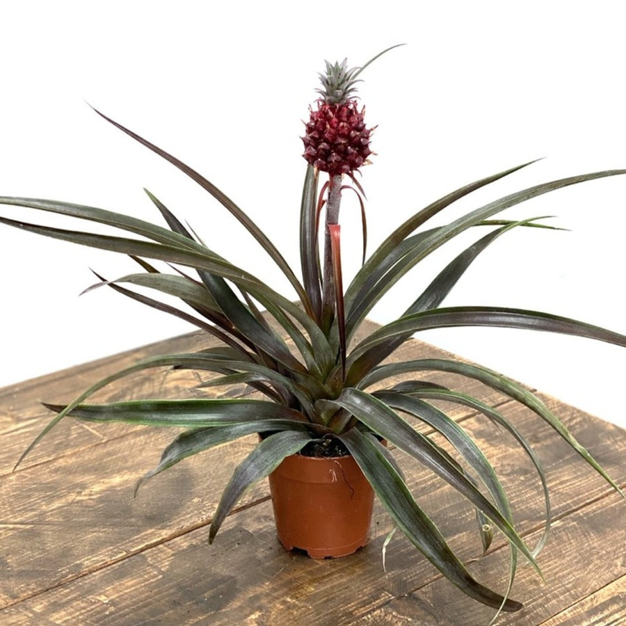 Ananas Pacifico Pineapple Plant