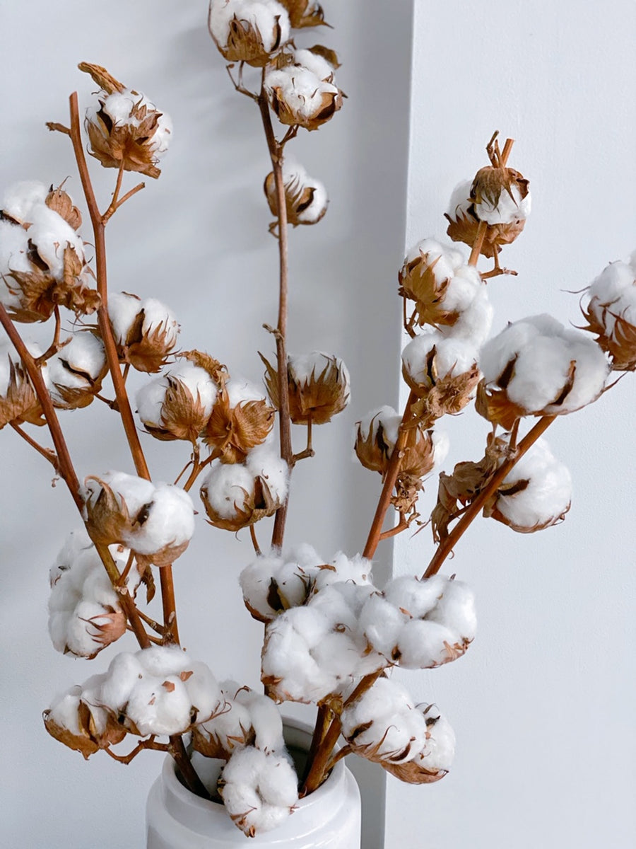 Dried Natural Cotton Stems 50 60cm House Of Kojo