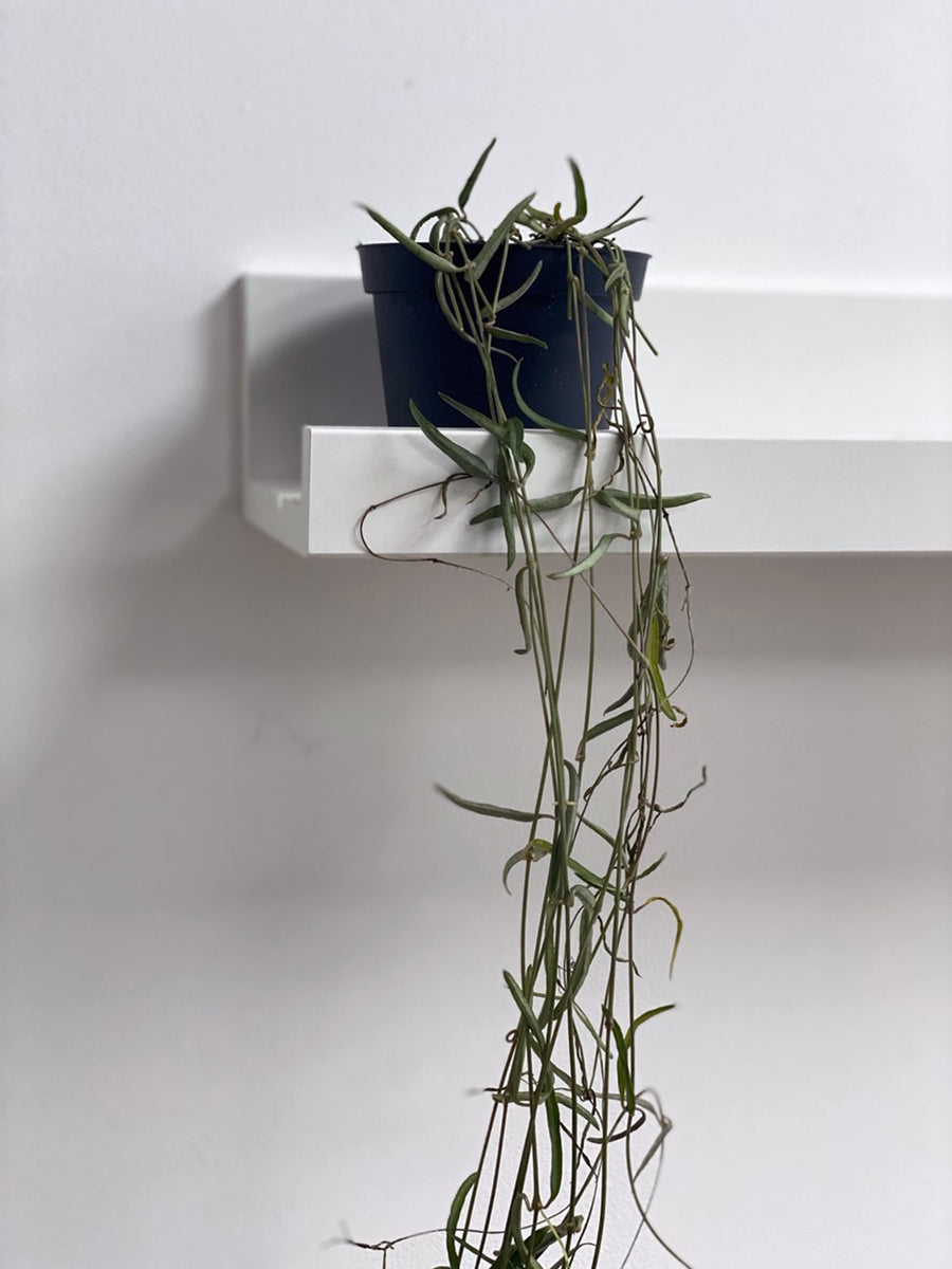String of Needles Ceropegia Linearis