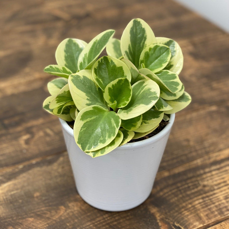 Peperomia Obtipan Variegated