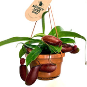 Nepenthes Bloody Mary Monkey Cups