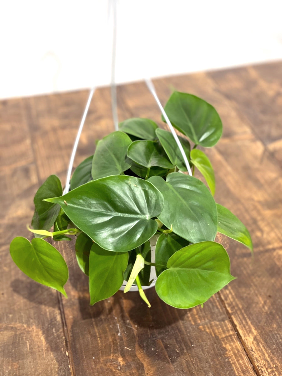 Philodendron Scandens in Hanging Pot