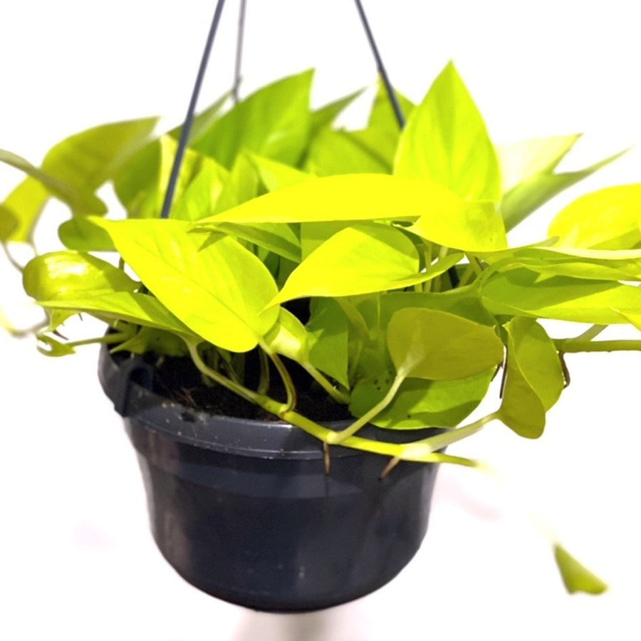Epipremnum Aureum Neon Golden Pothos in Hanging Pot