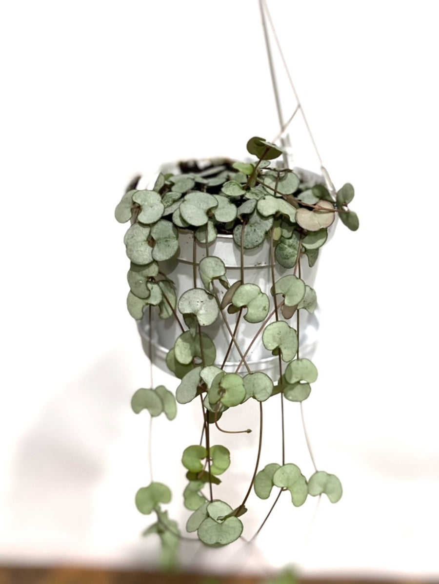 String of Hearts Silver Glory in Hanging Pot