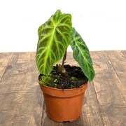 Philodendron Verrucosum Special