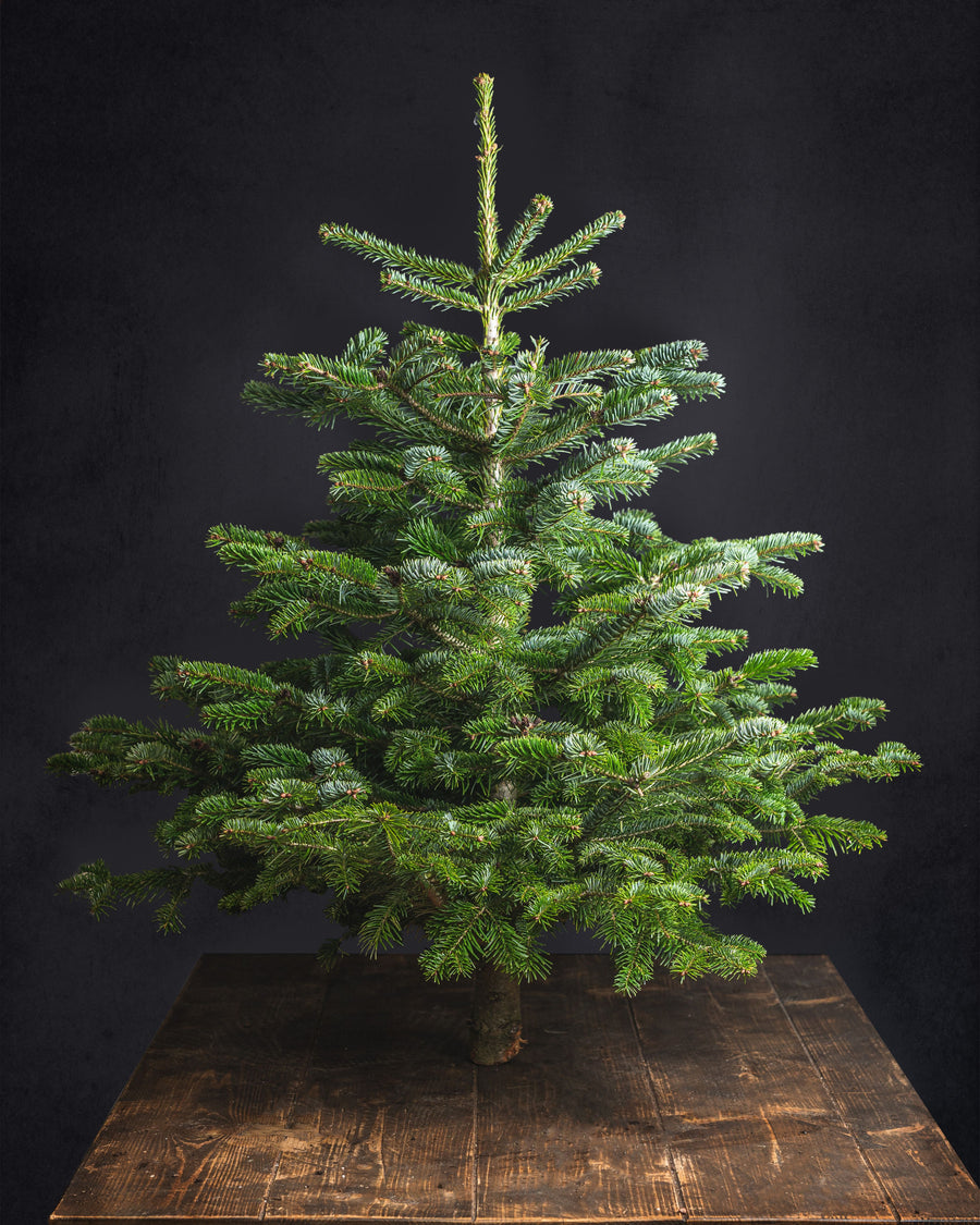Nordmann Fir Christmas Tree 3-4ft