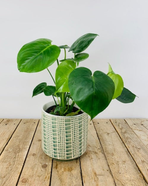 Funky Philodendron