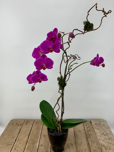 Oriental Orchid