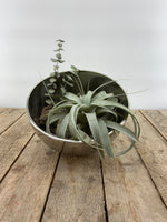 Tillandsia-later