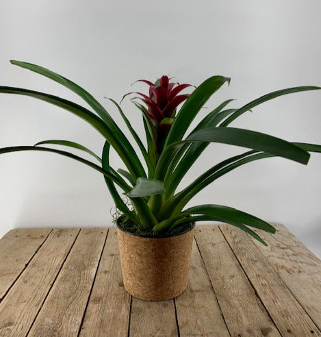 Bountiful Bromeliad