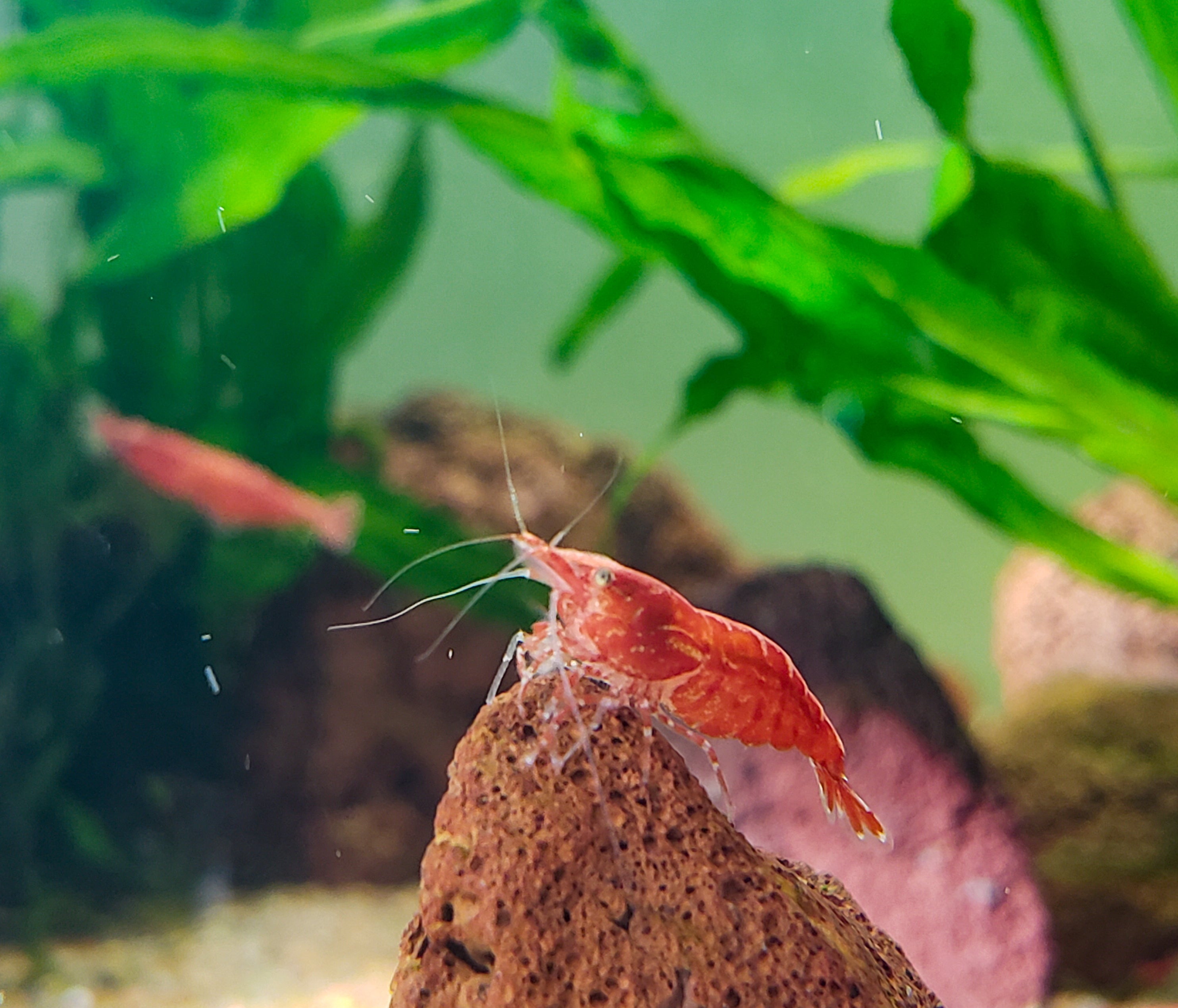 Red Cherry Shrimp RCS Neocaridina 20+ Dwarf Shrimp, Discounted Culls