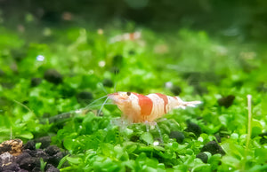 Crystal Red Shrimp - 10+ CRS Caridina Dwarf Shrimp