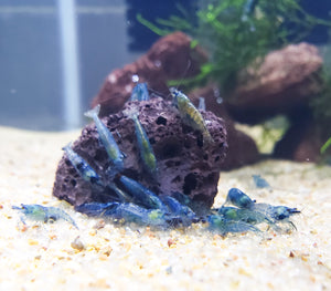 Blue Jelly Shrimp - 10+ Neocardinia Dwarf Blue Rili Shrimp