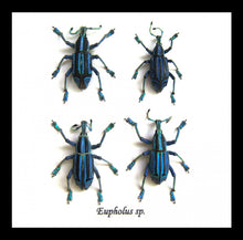 Load image into Gallery viewer, Eupholus benietti - ( Snout Beetle)