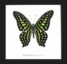 Load image into Gallery viewer, Graphium agamemnon - (The Green Spotted Triangle)