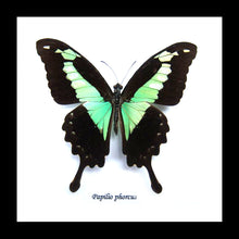 Load image into Gallery viewer, Papilio phorcas - (Apple Green Swallowtail)